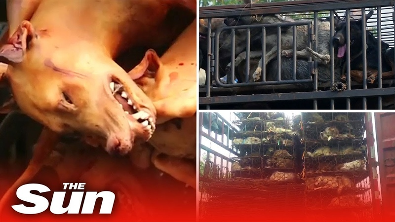 Inside China's brutal dog meat trade where 10 million dogs a year are killed cooked and eaten