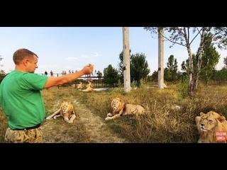 Новый УРОК для ЛЬВОВ! Белый лев самый не послушный!