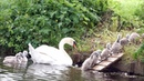 Mute Swan Family with 10 Cygnets Crossing the Road