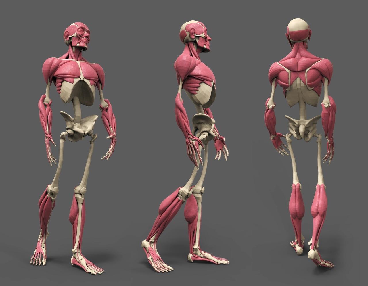 Скелет и мышцы