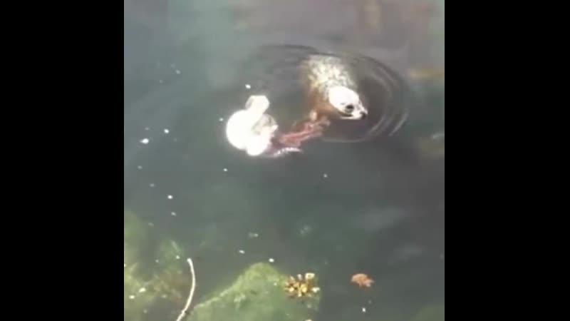 Морской котик против гигантского тихоокеанского осьминога