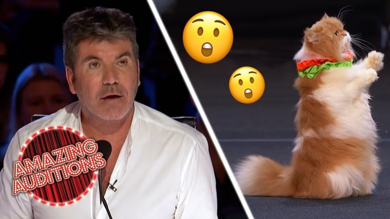 CATS TALENTED Cats On America's Got Talent Are FELINE Good Amazing Auditions