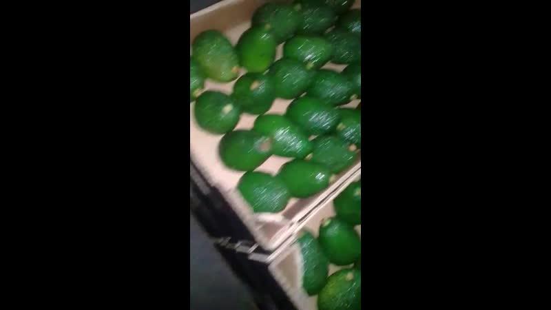 Видео с плантации в Марокко