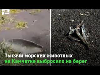 На Камчатке на берег выбросило тысячи морских животных