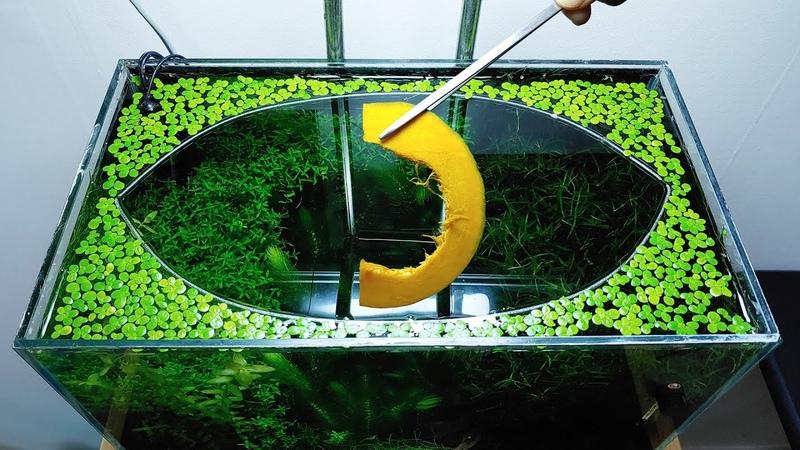 33rd Month SWEET Pumpkin Feeding Frenzy NO filter NO CO2 NO Ferts 5 Gallon Nano Tank