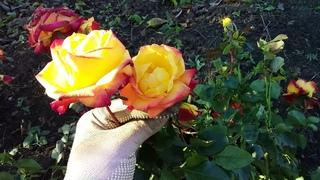 Саженец розы Маскарад -Masquerade Флорибунда куплен на рынке 14 ноября 2020 год