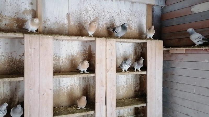 Турецкая такла в гостях у Сергея часть 4 ая голуби pigeon бойныеголуби