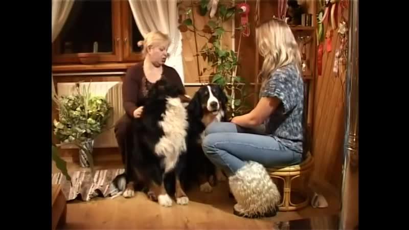 Бернский зенненхунд Самая обоятельная порода собак