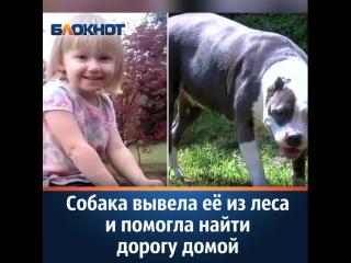 Питбуль герой спас девочку пропавшей двухлетней девочке с аутизмом в лесу  нашли пес спасла человека ребенка Бойцовский собаки
