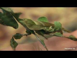 Adult Female Ghost Mantis - Macro View