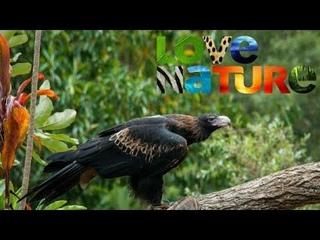 Love Nature- Дикие птицы Австралии: Ареал хищников   Документальний фильм про птиц 720 HD