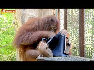 Обезьяна и сумочка - теория Дарвина. Тайган. Animals life in Taigan.