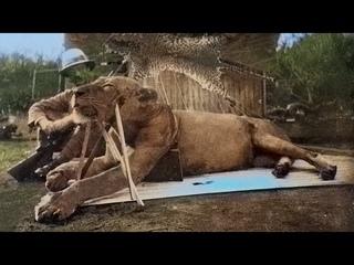 Этот Лев Сожрал 49 Человек, но Когда Его Убили, Люди Поняли в Чем Была Причина!
