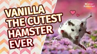 Syrian hamster Vanilla. Cutest hamster in the world. 시리아 햄스터 바닐라. 세계에서 가장 귀여운 햄스터.