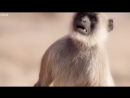 Scarface Fights Off Other Monkeys - Life Story - BBC