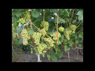 Обрезка и укрытие винограда 3 год