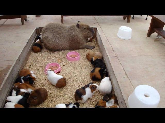Capybara nap with Guineapigs