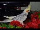 Попугай корелла --нимфа, мальчик Ричи поет песни.