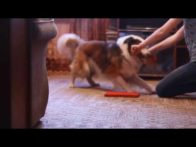 Дрессировка: Как научить собаку скрещивать лапы?