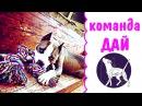 Команда Дай дрессировка собак питбуль амстафф