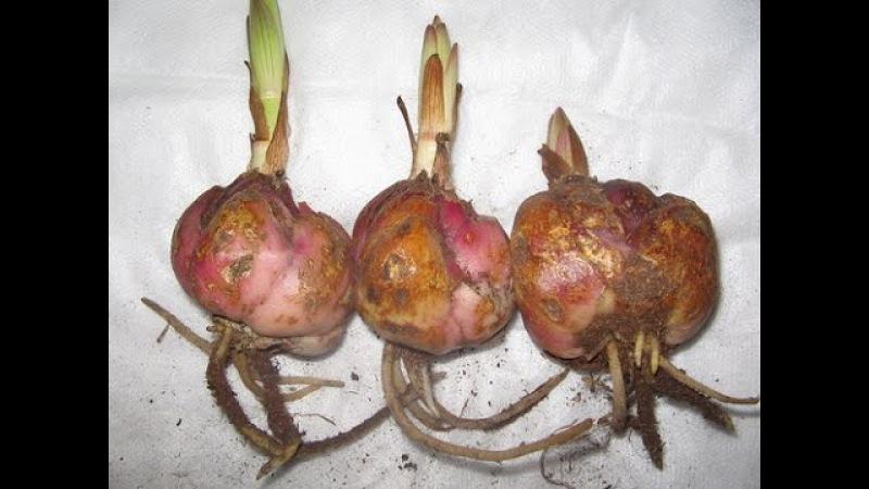 Хранение лилий до высадки в грунт How do I store the bulbs lily