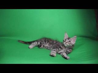 Шейла Свон Silver Lynx кошка fs22 (себристая мраморная черепаха)