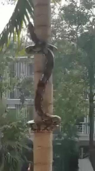 Вы только посмотрите, как искусно змея залезает на дерево!