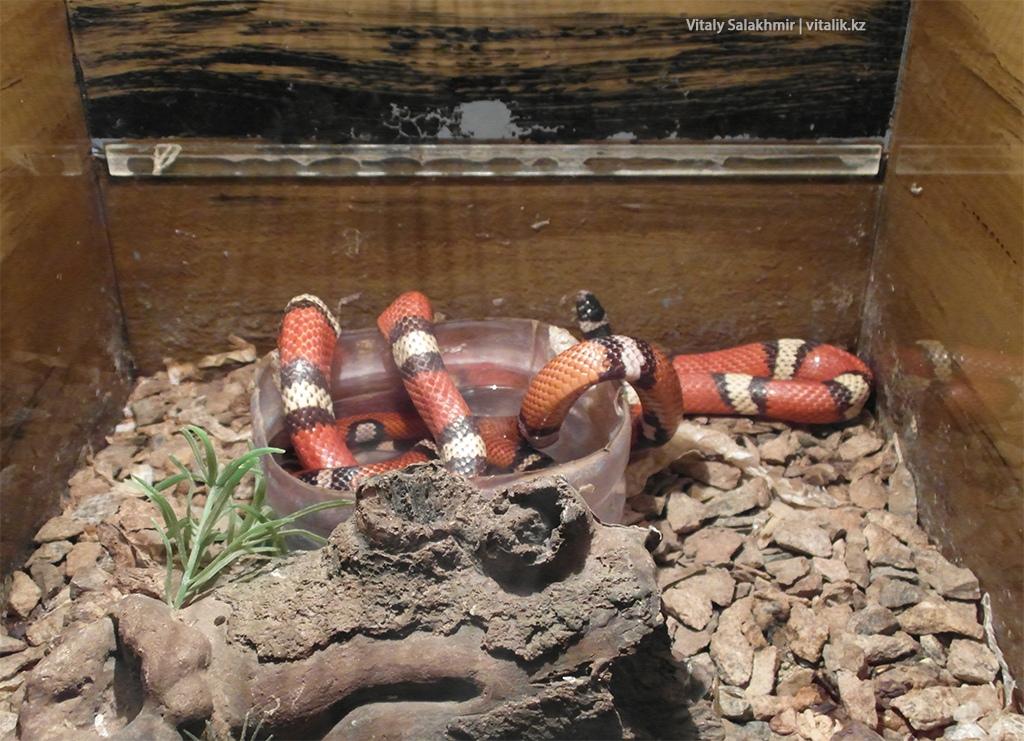 Молочная змея, зоопарк Алматы 2018