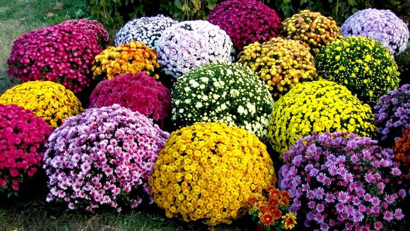 Шаровидные хризантемы Мультифлора. Посадка, уход, зимовка., изображение №1
