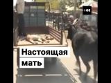 Корова бежит за раненым телёнком