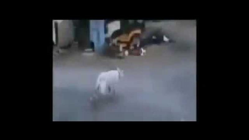Испуг козы