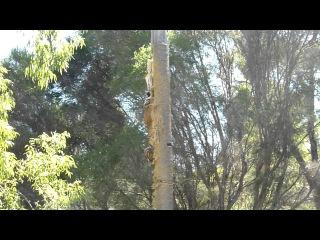 Tiger climbing tree @Taronga Western Plains Zoo, Dubbo