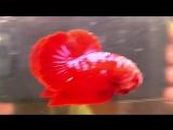 Супер Красный Самурай .... Франциск Ху . Лондон . Великобритания .