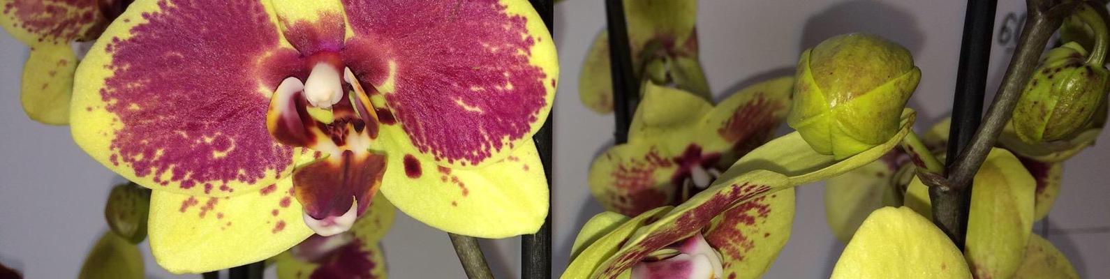 Как сделать орхидеи из а 598