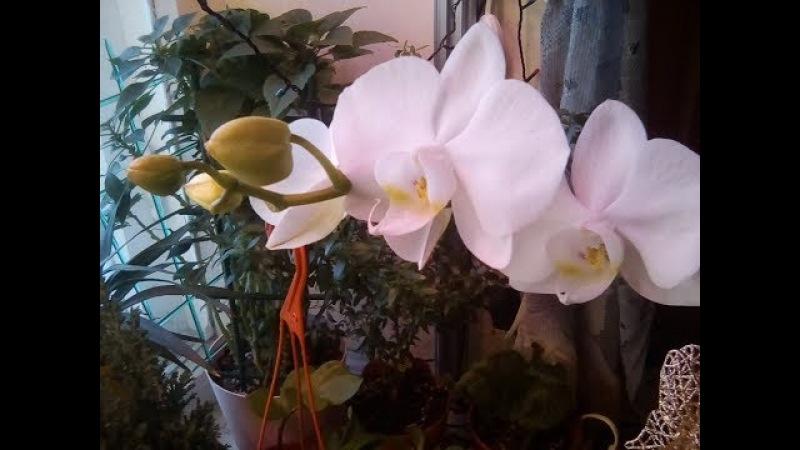 Богемная орхидея зацвела на 8 марта! Подарок всем!