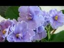 ЕК-Голубая Кровь Е. Коршунова. Видео обзор сорта фиалки
