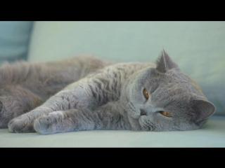 Породный рацион Royal Canin для британской кошки