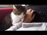 Коты (Котики) -Когда не разрешаешь коту лежать на себе, а ему очень хочется Gif ( Гифки )