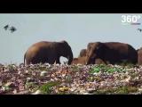 Слоны и свалка