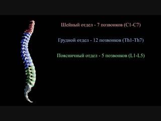 Наше тело - Анатомия и строение позвоночного столба