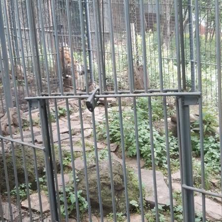 """Алексей Моргачев on Instagram: """"тиграмур самый извесиный тигр в мире! Послушайте как он рычит... Все животные как в дикой природе, несколько ра..."""
