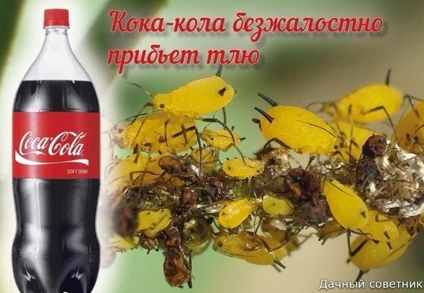 Напоите тлю кока-колой до смерти