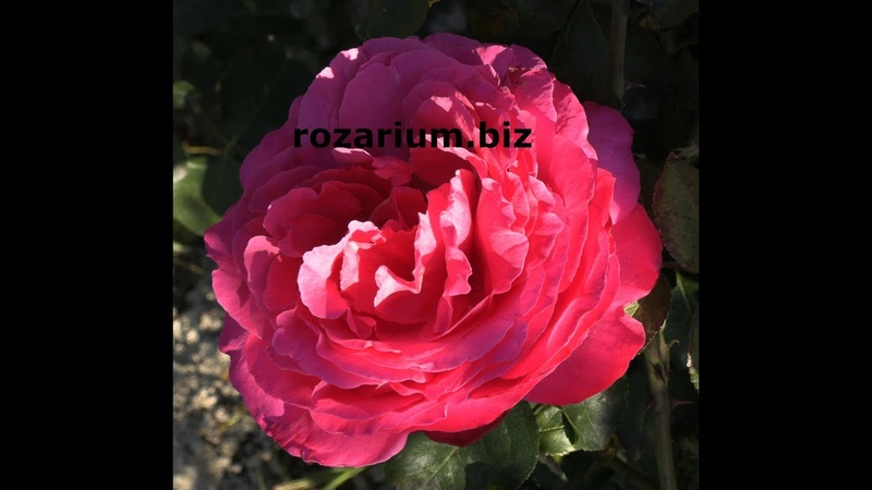 секреты капельного полива роза ив пьяже питомник роз полины козловой