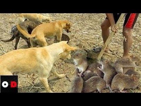 IMPRESSIONANTE Cães caçando ratos do mato Infestação de ratos