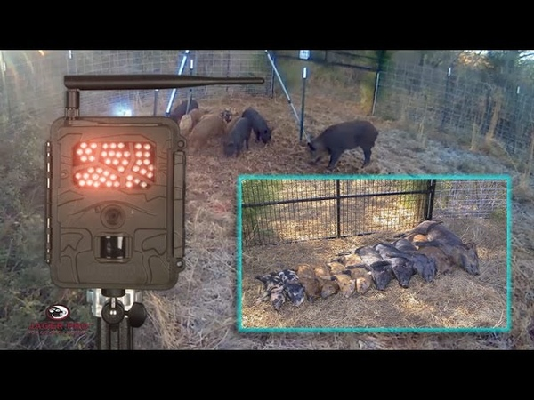 Wild Hog Trapping | (24) Landowner Interference (11 of 11 Capture) | JAGER PRO™