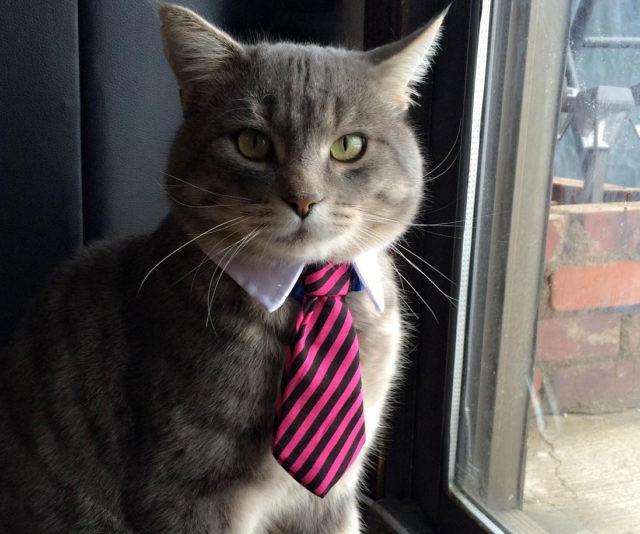 установили кот в галстуке картинки прикольные дайвингу