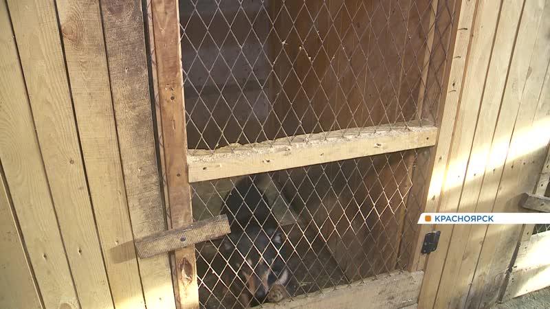 Собачье дело как в Красноярске устроена система отлова бездомных животных