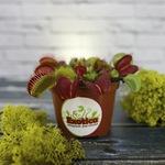 Венерина мухоловка (лат. Dionaea muscipula)