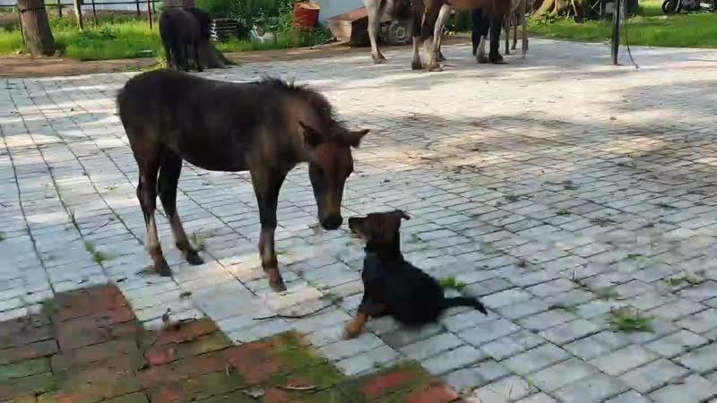 жеребёнок пони и щенок