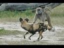 아프리카들개 vs 개코원숭이 엄청난싸움! Wild Dogs vs Baboon Real FIght!